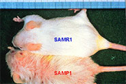 SAMマウスとは?